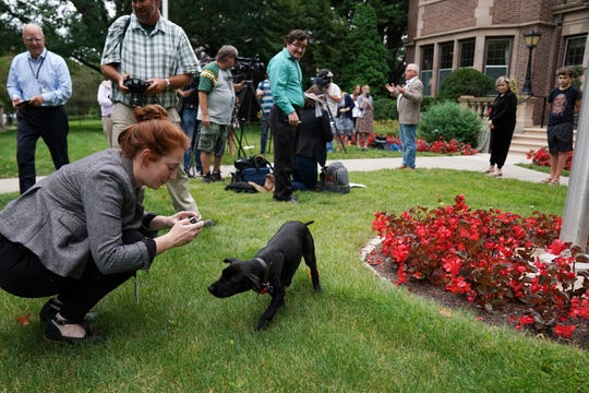 Scout, a 3-month-old Labrador Retriever the Gov. Tim Walz family adopted, greets reporters during a news conference to announce the family's newest addition at the Governor's Mansion, Thursday, Sept. 5, 2019. (Anthony Souffle/Star Tribune via AP)