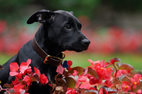 Scout, a 3-month-old Labrador Retriever the Gov. Tim Walz family adopted, plays in flowers during a news conference to announce the family's newest addition at the governor's residence Thursday, Sept. 5, 2019. (Anthony Souffle/Star Tribune via AP)