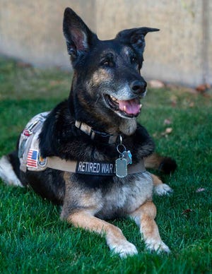 Massie, a veteran military canine who was rescued from Kuwait, is photographed Wednesday, Aug. 28, 2019. The dogs were rescued part of an effort to save dogs abandoned by the U.S. military after their handlers return home from duty. (Rick Egan /The Salt Lake Tribune via AP)