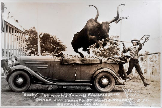An undated photograph of Monte Reger jumping his longhorn steer Bob-Cat Twister over a convertible. Virginia Reger, Monte's daughter, said the steer got to the point where he enjoyed performing for the crowd and wouldn't even come out to eat unless there was a group of people watchi
