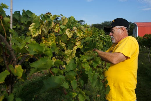 Larry Lint of Newton harvests grapes. Lint has been participating in the annual Summerset Winery harvest for eight years. The Summerset Winery hosted the annual grape harvest on Sept. 7 giving wine fans an opportunity to pick grapes in the vineyard.