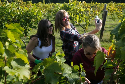 A pair of harvesters pause for a selfie. The Summerset Winery hosted the annual grape harvest on Sept. 7 giving wine fans an opportunity to pick grapes in the vineyard.