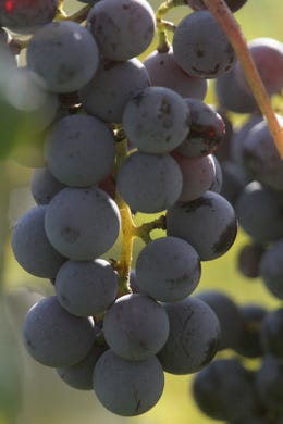 Grapes hang from a vine in the morning sun. The Summerset Winery hosted the annual grape harvest on Sept. 7 giving wine fans an opportunity to pick grapes in the vineyard.