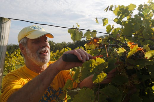 Larry Victora of Atlantic carefully cuts bunches of grapes from a vine. The Summerset Winery hosted the annual grape harvest on Sept. 7 giving wine fans an opportunity to pick grapes in the vineyard.