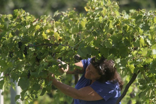 JerryLynn Webb of Cumming harvests grapes at Summerset Winery. The Summerset Winery hosted the annual grape harvest on Sept. 7 giving wine fans an opportunity to pick grapes in the vineyard.