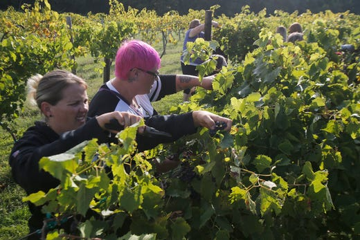 Tia Williamson of Norwak and Kim Weir of West Des Moines part the vine leaves in search of grapes. The Summerset Winery hosted the annual grape harvest on Sept. 7 giving wine fans an opportunity to pick grapes in the vineyard.