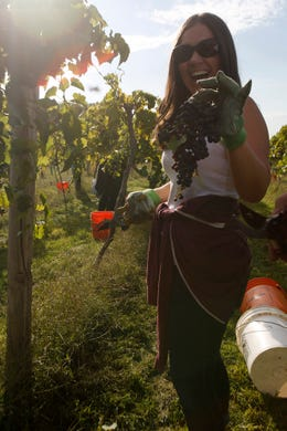 A harvester proudly holds up a big bunch of grapes. The Summerset Winery hosted the annual grape harvest on Sept. 7 giving wine fans an opportunity to pick grapes in the vineyard.