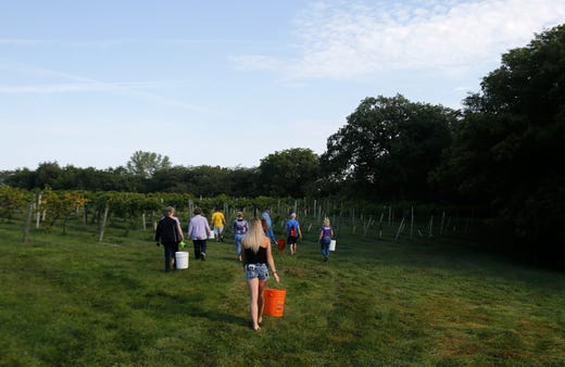 Harvesters head to a new section of the vineyard. The Summerset Winery hosted the annual grape harvest on Sept. 7 giving wine fans an opportunity to pick grapes in the vineyard.