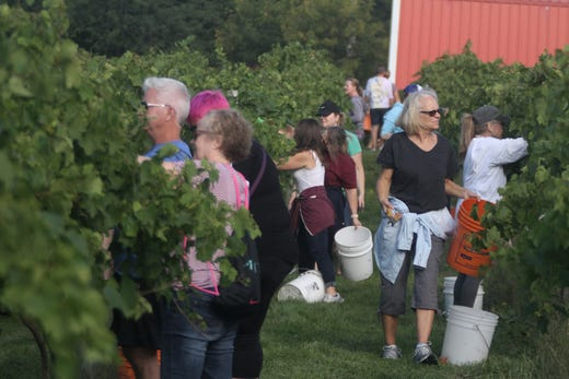 Harvesters work their way down a row. The Summerset Winery hosted the annual grape harvest on Sept. 7 giving wine fans an opportunity to pick grapes in the vineyard.