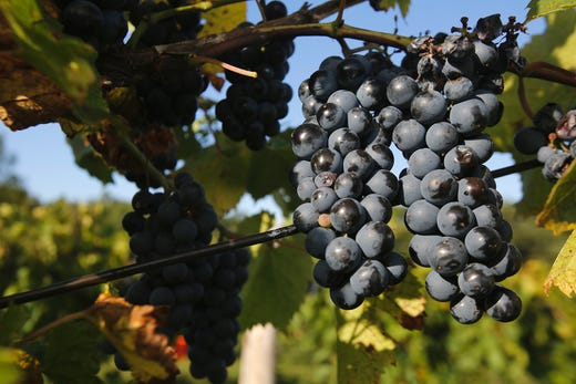 Grapes hang on the vine in the morning sun. The Summerset Winery hosted the annual grape harvest on Sept. 7 giving wine fans an opportunity to pick grapes in the vineyard.