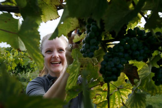 Julie Bridel of Rochester, Minn., harvests grapes. The Summerset Winery hosted the annual grape harvest on Sept. 7 giving wine fans an opportunity to pick grapes in the vineyard.