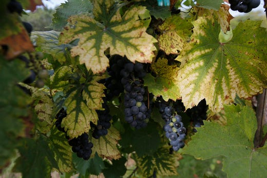 The morning sun finds grapes on the vine. The Summerset Winery hosted the annual grape harvest on Sept. 7 giving wine fans an opportunity to pick grapes in the vineyard.