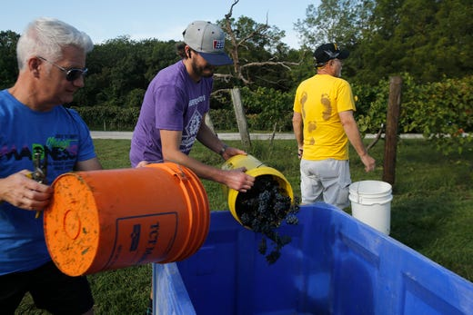Buckets of harvested grapes are poured into a bin. The Summerset Winery hosted the annual grape harvest on Sept. 7 giving wine fans an opportunity to pick grapes in the vineyard.