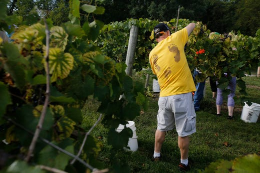 Larry Lint of Newton wears a T-shirt from a previous harvest. Lint has been coming to the Summerset Winery harvests for eight years. The Summerset Winery hosted the annual grape harvest on Sept. 7 giving wine fans an opportunity to pick grapes in the vineyard.