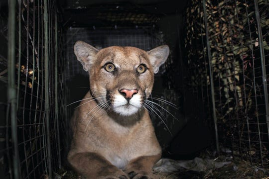 A mountain lion known as P-61, captured in the Santa Monica Mountains, Calif. in Oct. 2017.