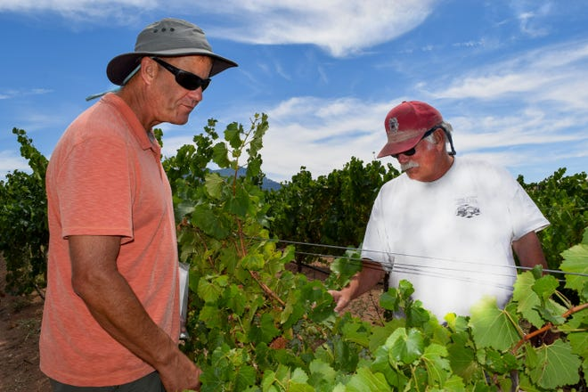 Gill Giese, New Mexico State University's viticulture specialist, and Jim Peterson, vineyard manager, inspect the grapes at the Pueblo of Santa Ana's Tamaya Vineyard north of Bernalillo.