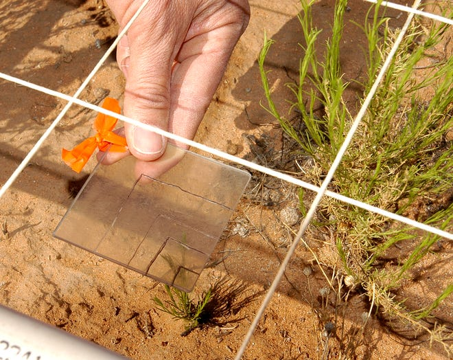 Even the tiniest plants are considered important in research being conducted at the Jornada Experimental Range.