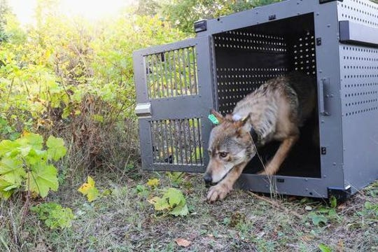 A photo provided by the National Park Service in 2018 shows a 4-year-old female gray wolf emerging from her cage at Isle Royale National Park. It was unclear if this was the female killed by other wolves in recent months after be relocated to the island in 2018.
