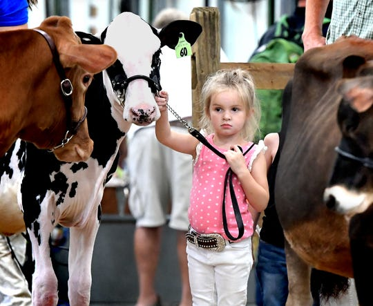 Hadley Thompson, 4, of Dover Township, prepares to enter the show ring with a 6-month-old Holstein during the Kiddie Class event at the York Fair Sunday, Sept. 8, 2019. The Livestock Arena featured youth dairy cattle showmanship during the day. The noncompetitive Kiddie Class gives children a first experience in the show ring. Bill Kalina photo