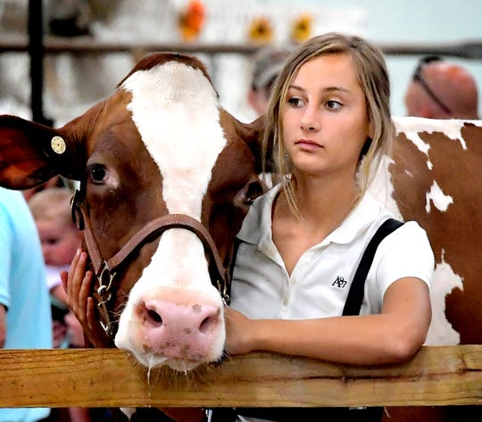 Jenna Morris, 14, of Fawn Grove, tends a friend's Holstein while watching events in the show ring at the York Fair Sunday, Sept. 8, 2019. The Livestock Arena featured youth dairy cattle showmanship during the day. Bill Kalina photo