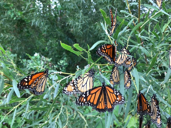 These monarch butterflies stopped at the Ottawa National Wildlife Refuge in September 2018. Refuge officials expect the butterflies to come through this month, but don't expect them to arrive in the massive numbers they did last year.