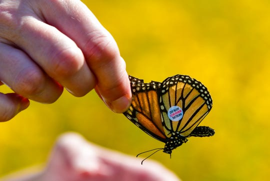 A tagged Monarch is about to be released. Audubon State Park's tagging event runs again this weekend on Saturday and Sunday.