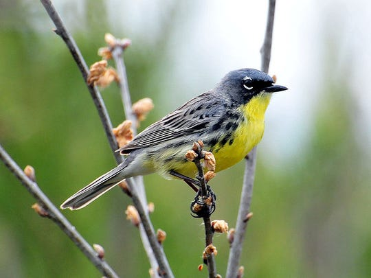 The Great Wisconsin Birdathon is a long-time supporter of Kirtland's warbler recovery efforts in Wisconsin through the Bird Protection Fund.