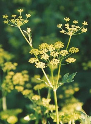 Wild parsnip plants look like Queen Anne's Lace but it is usually yellow.