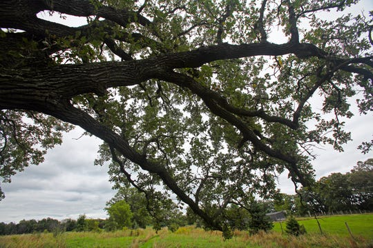 The Wisconsin champion bur oak, the largest of its kind in the state, stands at Stone Fences Farm, owned by Glenn and Tizza Meyer, in Dousman on Sept. 4, 2019. The tree is near a field that houses sheep in the summer and a swath of oak savanna, a rare landscape that was common in southern Wisconsin before European settlement.