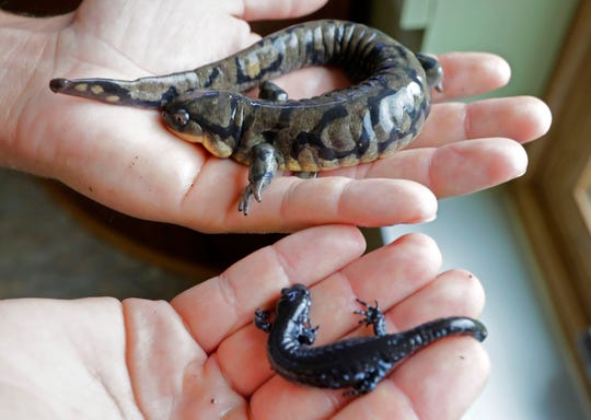 In 2012 the Mequon Nature Preserve undertook a project to re-establish eastern tiger salamanders, top, and blue-spotted salamanders in Harvey's Woods. Their presence indicates a healthy environment for plants. The perserve's conservation dog, Tilia, uses her nose to find the salamanders as well as invasive species like wild parsnip.