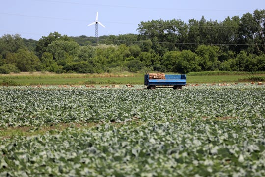 "A cabbage field is seen near the area where ""Roberto"" and other Mexican laborers picked cabbage for Borzynski Farms in the fall of 2016. The Wisconsin Department of Workforce Development received a tip that the workers were being held ""prisoner."" DWD investigated and cited the head of a farm labor contracting firm for preventing the men from speaking to outsiders. It is not clear who contacted federal authorities. Borzynski Farms said in a statement it had no knowledge about the alleged trafficking."