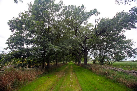 Bur oaks and stone fences (made by Welsh settlers in the 19th century) line a path at Stone Fences Farm in Dousman on Sept. 4, 2019. Glenn and Tizza Meyer have owned the farm since 1994.