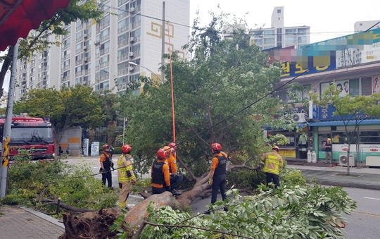 A handout photo made available by Gunsan City Government shows a large tree uprooted by Typhoon Lingling in Gunsan, South Korea, 07 September 2019.