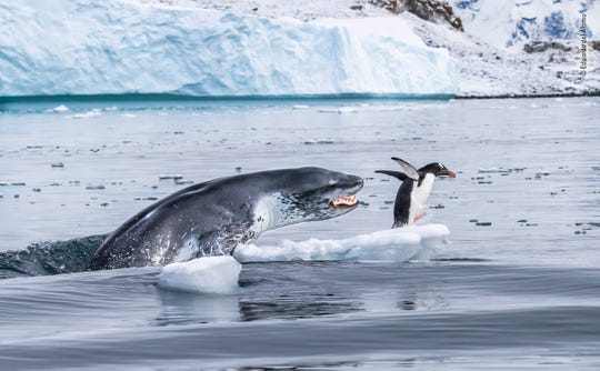 A gentoo penguin – the fastest underwater swimmer of all penguins – flees for its life as a leopard seal bursts out of the water. Eduardo was expecting it. He had spotted the penguin, resting on a fragment of broken ice. But he had also seen the leopard seal patrolling off the Antarctic Peninsula coast, close to the gentoo's colony on Cuverville Island. As Eduardo's inflatable headed towards the penguin, the seal passed directly beneath the boat. Moments later, it surged out of the water, mouth open. The penguin made it off the ice, but the seal now seemed to turn the hunt into a game. Leopard seals are formidable predators. Females can be 3.5 metres (11½ feet) long and weigh more than 500 kilograms (1,100 pounds), males slightly less. Their slender bodies are built for speed, with wide jaws bearing long canines and sharply pointed molars. They hunt almost anything, from fish to the pups of other seal species. And they also play with their prey, as in this instance, with the leopard seal pursuing the penguin for more than 15 minutes before finally catching and eating it.