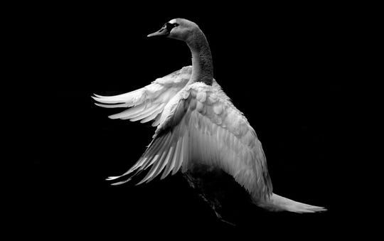 "An archival print, ""Swan,"" by the College for Creative Studies' Sara Abbate."