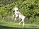 Mansfield, Ohio, firefighters rescued this albino deer in September 2019 from a net behind Kelly's Driving Range & Miniature Golf.
