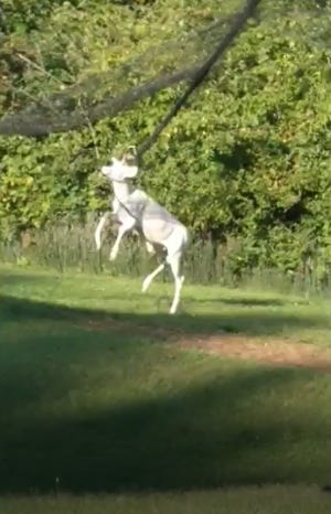Mansfield firefighters Monday rescued this albino deer from a net behind Kelly's Dairy Bar & Miniature Golf on South Main Street.
