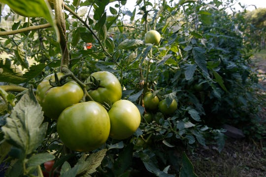 Tomatoes growing inside the garden at the Clover Project in Hyde Park on August 30, 2019.