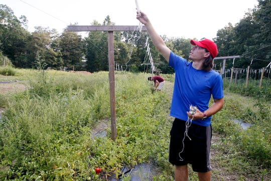 Dutchess Community College student Joe Basciano trellises tomato plants inside the garden at The Clover Project in Hyde Park on August 30, 2019.