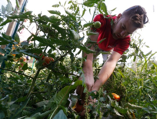 Cameron Brady picks tomatoes inside the garden at The Clover Project in Hyde Park on August 30, 2019. The Arlington High School senior decided to start the project in February 2019.