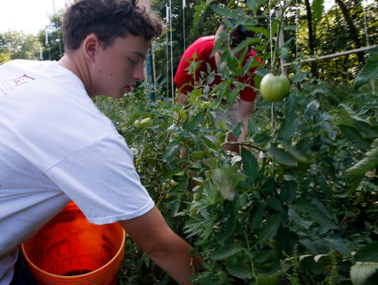 From left, Matthew Beck and Cameron Brady pick tomatoes inside the garden at The Clover Project in Hyde Park on August 30, 2019. The Arlington High School seniors decided to start the project in February 2019.