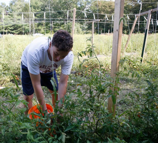 Matthew Beck picks tomatoes inside the garden at The Clover Project in Hyde Park on August 30, 2019. The Arlington High School senior decided to start the project in February 2019.
