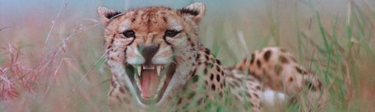 Photographer Neil Montanus captured this image of a cheetah while in Kenya in 1988. He left the safety of his vehicle for a better angle and snapped two images, including this one, before running back to the vehicle. This image was his last Colorama to be displayed at New York's Grand Central Station in 1989.