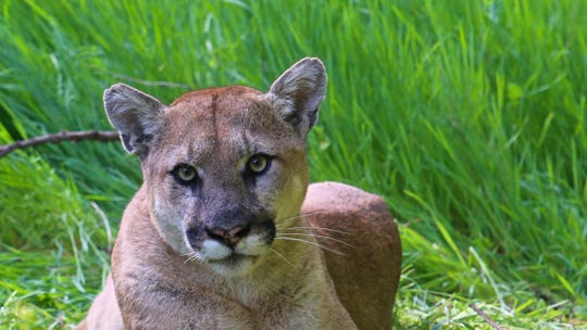 This mountain lion was dubbed P-38 when National Park Service researchers began tracking him in 2015 as part of a longterm study.