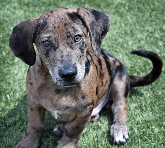 Pike is a 3-month-old, brown and black merle, Dachshund mix. He is sweet, playful and available for adoption at the Wichita Falls Animal Services Center.