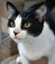 Spice is an eight-month-old, black and white, female, domestic short-haired kitten. She is curious, cuddly and available for adoption at the Wichita Falls Animal Services Center.