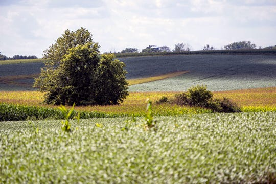 Corn and soybeans grow in a field outside of Sleepy Eye, Minn. Troy Windschitl has grown peas and sweet corn for more than 20 years. Just like his dad and grandpa did for 40 years before him.