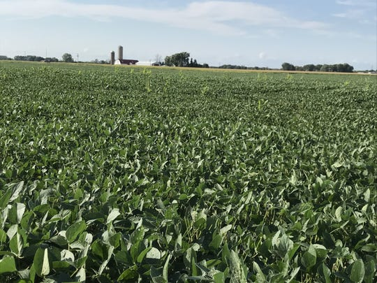 Fond du Lac County soybean field Sept. 10, 2019.