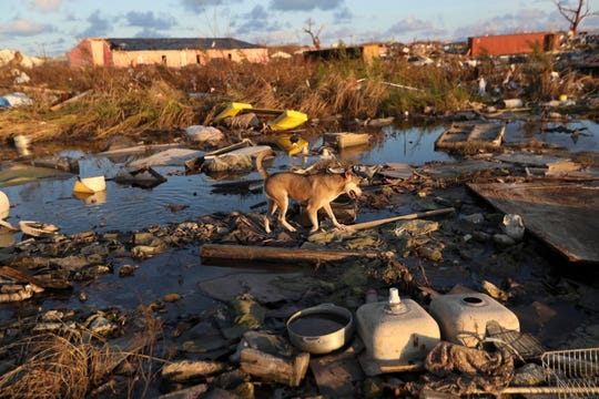 A dog walks amid debris in the aftermath of Hurricane Dorian in an area called The Mudd, in Marsh Harbor, Abaco Island, Bahamas, Sunday, Sept. 8, 2019. Dorian was the most powerful hurricane in the northwestern Bahamas' recorded history. (AP Photo/Fernando Llano) ORG XMIT: XFLL125