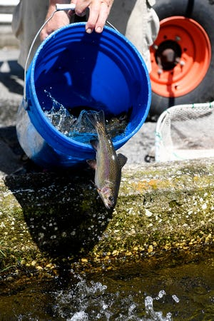 Greg Ditzler, Jr. pours a bucket of trout back into the water after weighing them at Setzer State Fish Hatchery in Pisgah National Forest August 29, 2019.